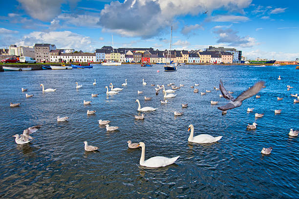 Swans in Galway Bay, Ireland. stock photo