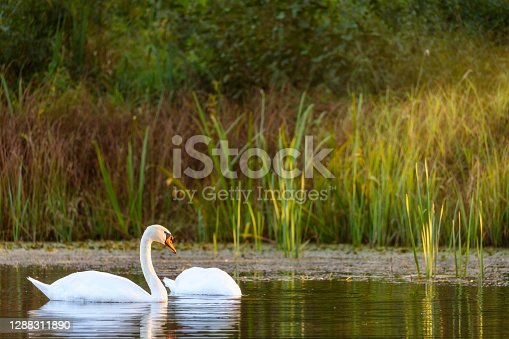 A pair of swans in the beam of sunset light on a lake with reed in autumn colors.