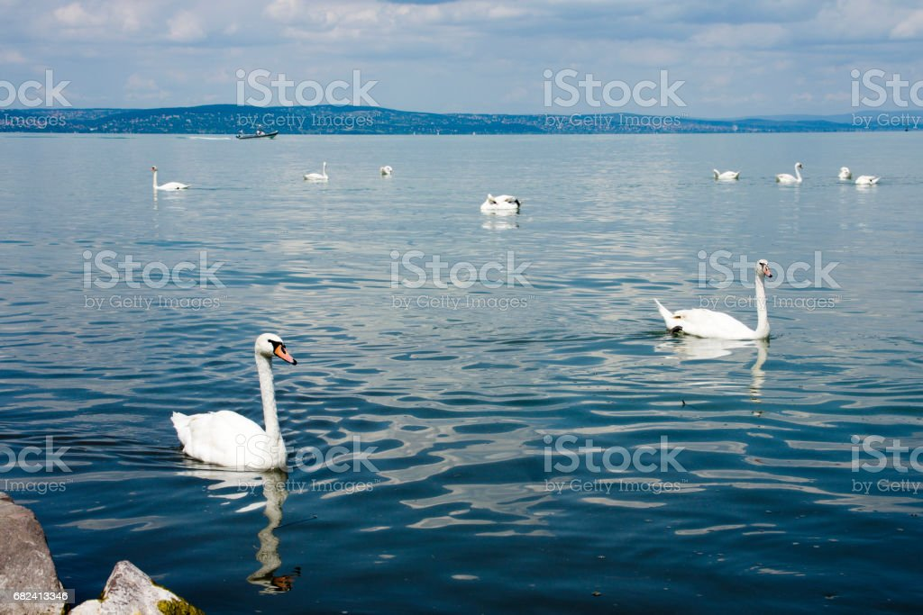 Swans in Lake Balaton royalty-free stock photo