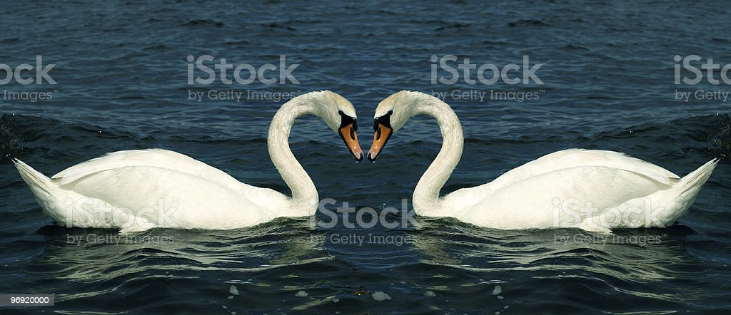 Swans in love royalty-free stock photo
