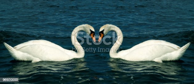 Swans In Love Stock Photo & More Pictures of Animal