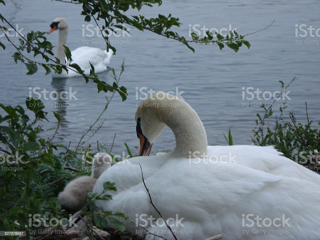 Swans in Nest stock photo