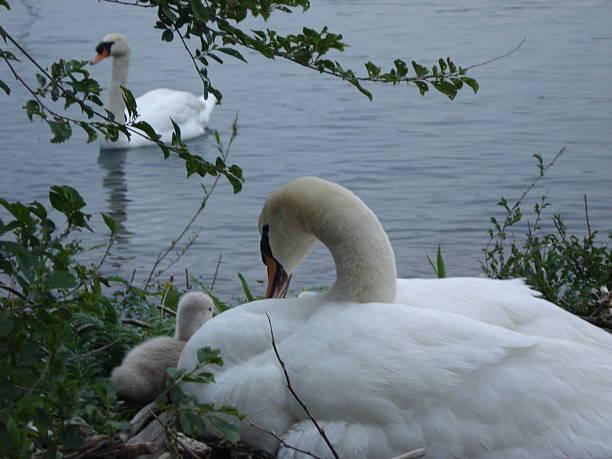 Swans in Nest stock photo