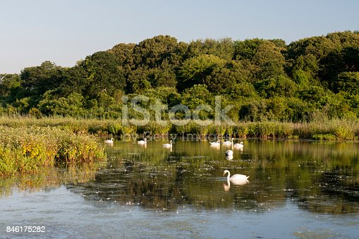 Swans in the pond at Cape May Point State Park, New Jersey, USA