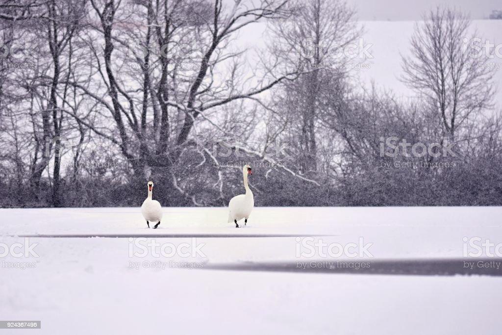 hermosas fotos de invierno naturaleza Cisnes En Invierno Foto De Hermoso Pjaro En La Naturaleza