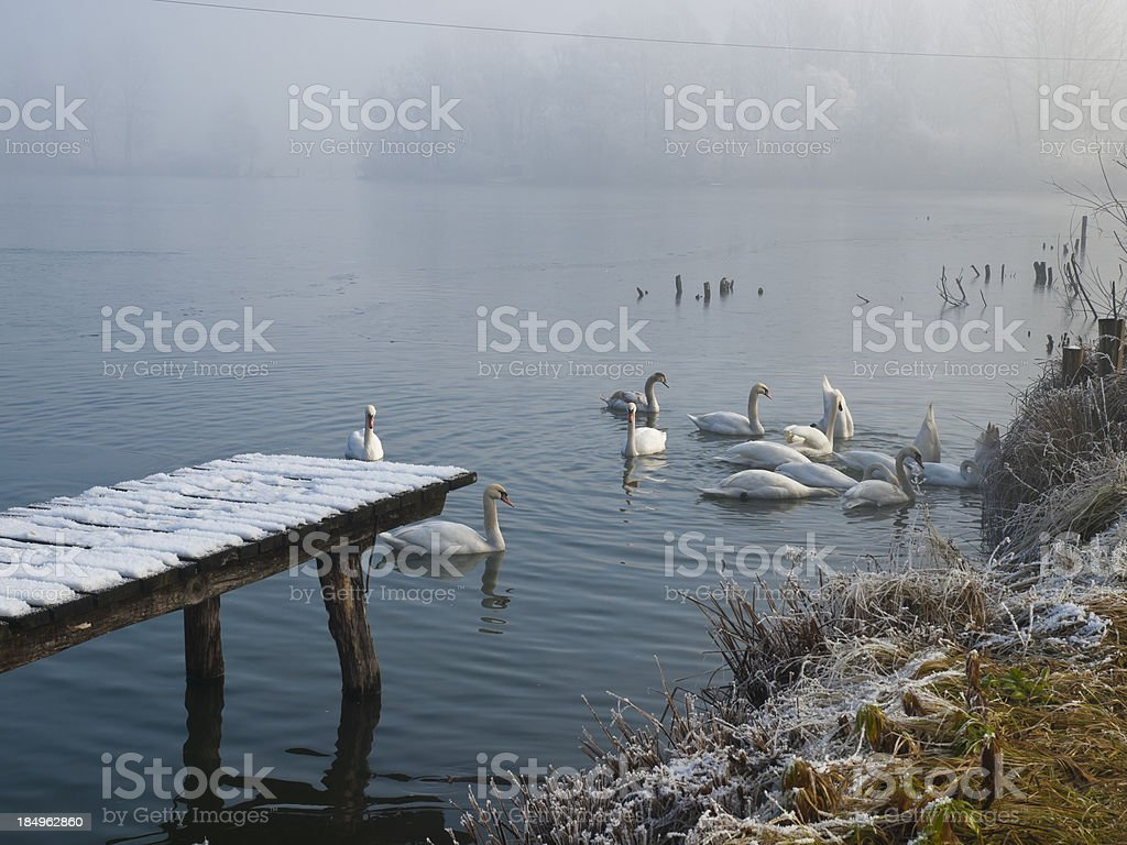 Swans in winter royalty-free stock photo