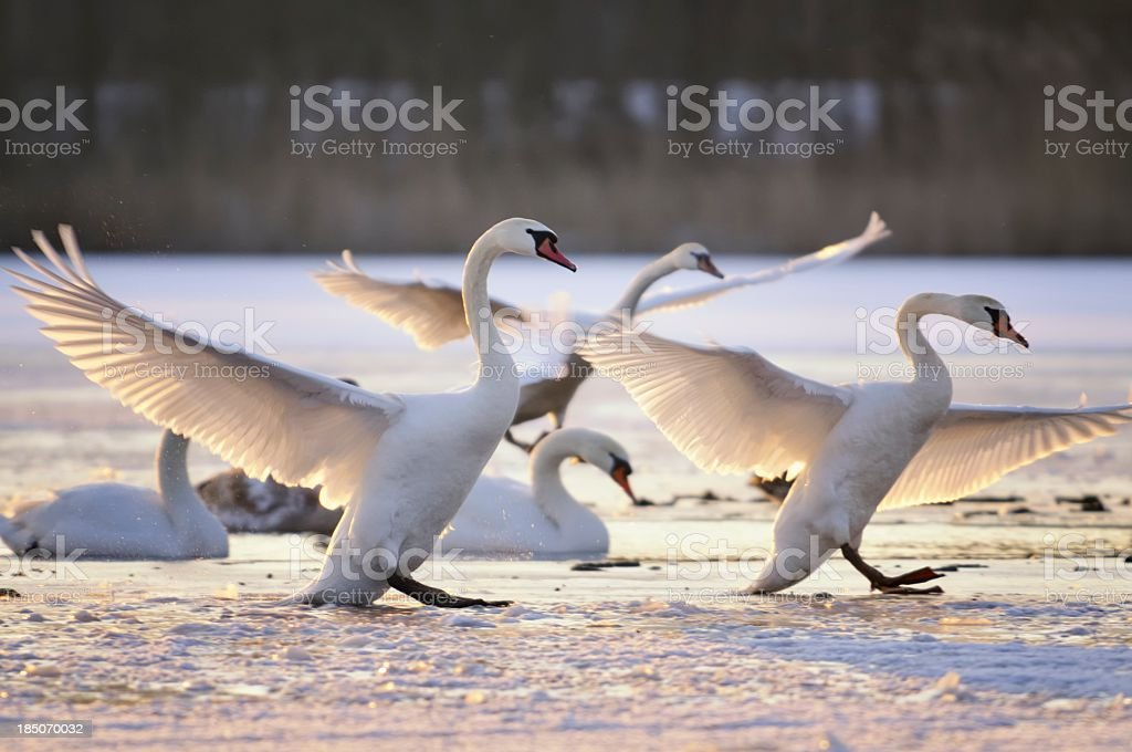 Swans in winter stock photo