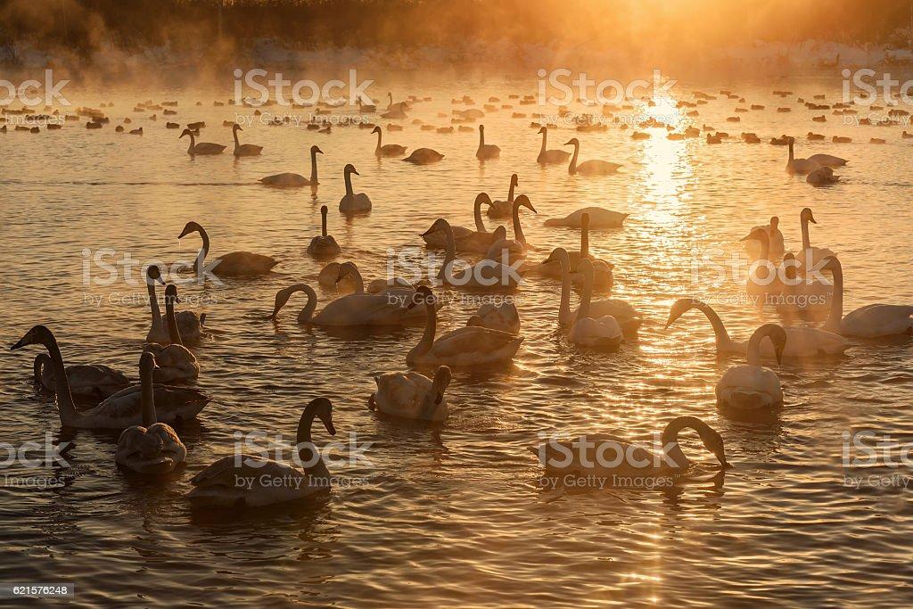 swans Lac mist hiver au coucher du soleil photo libre de droits