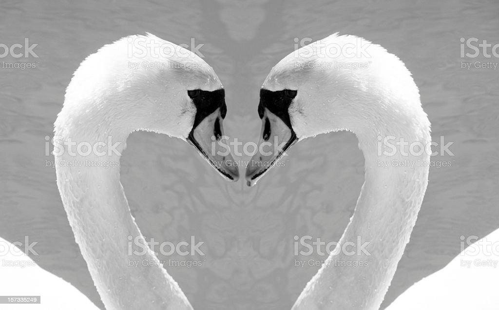 Swans, Love stock photo