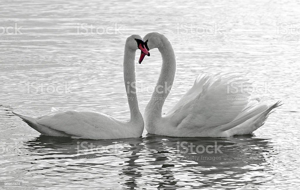Swans Love royalty-free stock photo