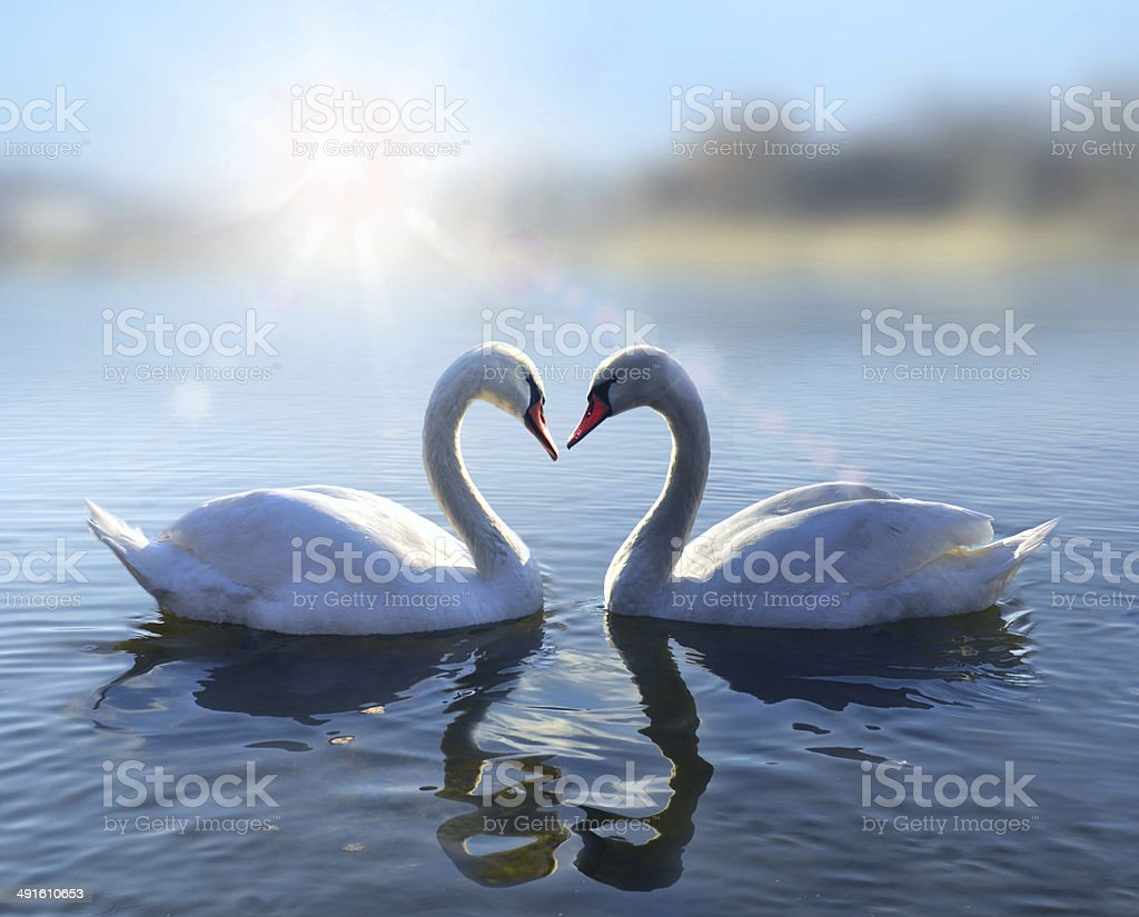Swans on blue lake water in sunny day stock photo