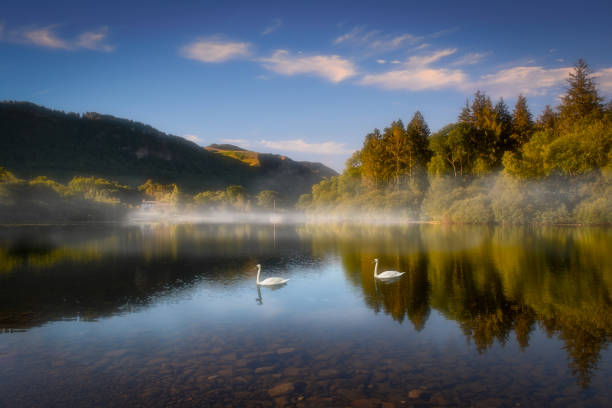 swans on derwentwater - cumbria stock photos and pictures