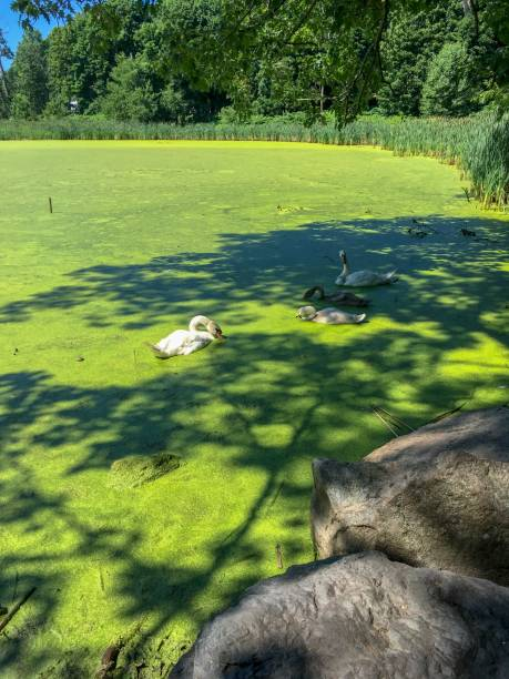 IMG_4959 Swans on pond in summer in New England stock photo