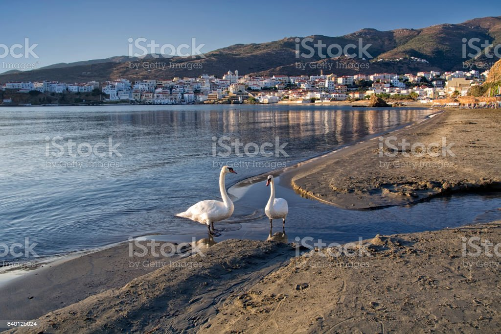 Swans on the beach stock photo