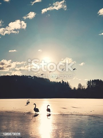 Group of swans walking on the frozen lake at sunrise.