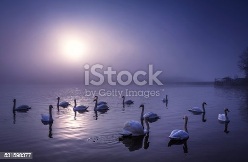 Group of swans swimming on the lake at moonlight.