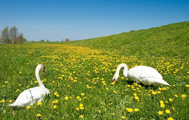 Swans – Foto