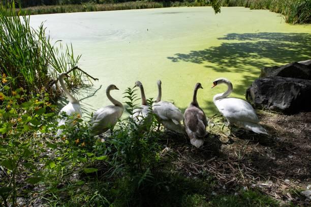 DSC2285D850 Swans stock photo