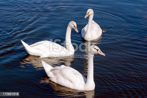 Three young swans.