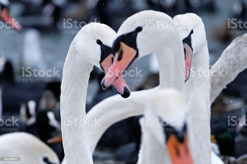 Cisnes foto de stock libre de derechos