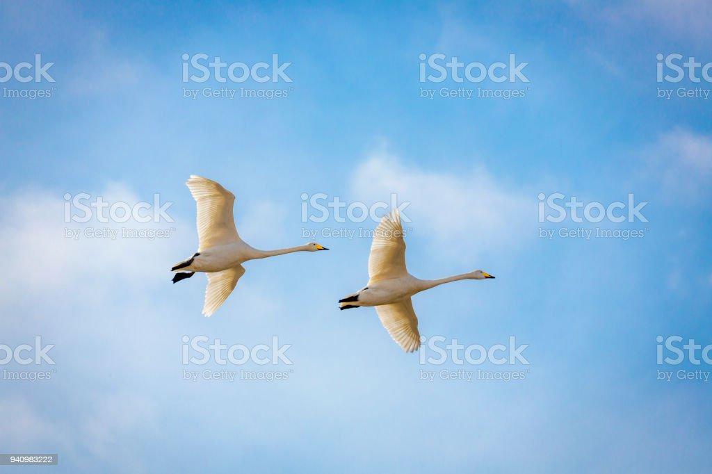 Swans bildbanksfoto