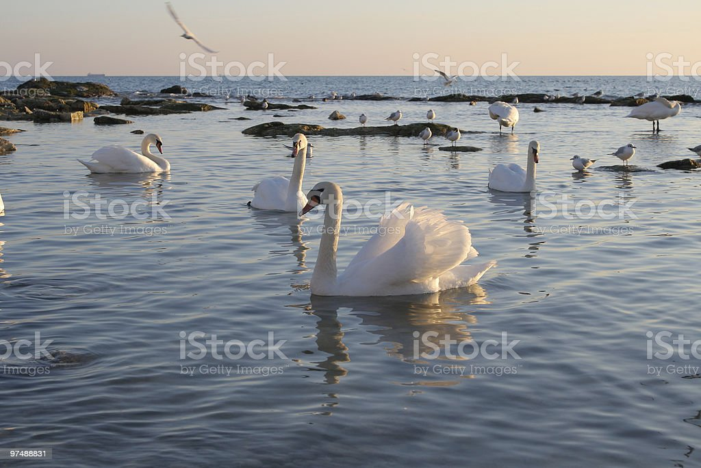 Swans. royalty-free stock photo
