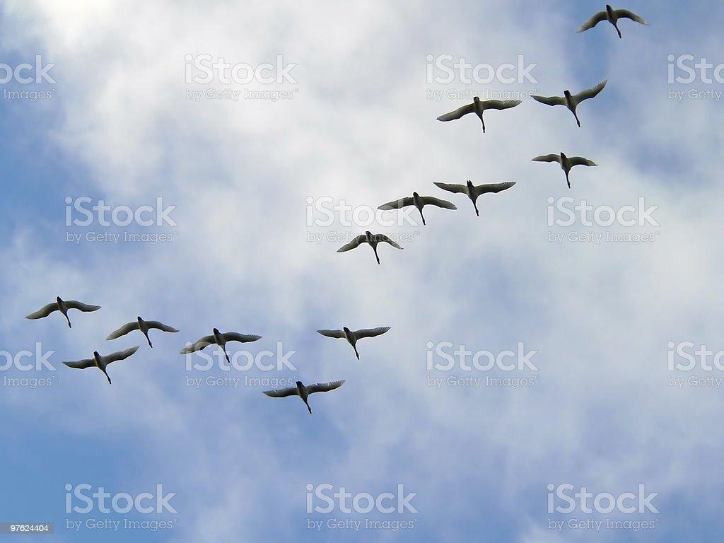 swans royaltyfri bildbanksbilder