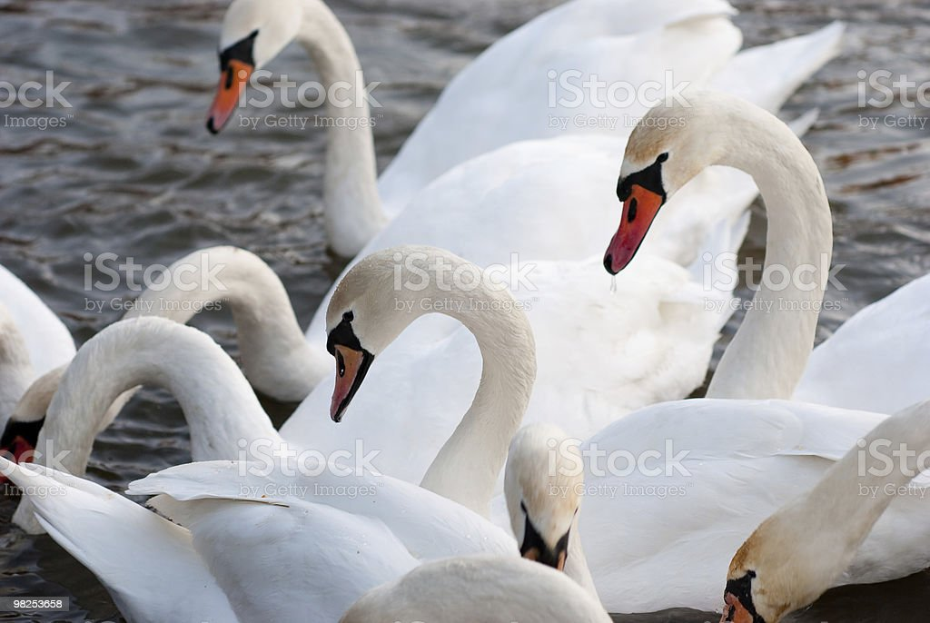 Swans foto stock royalty-free