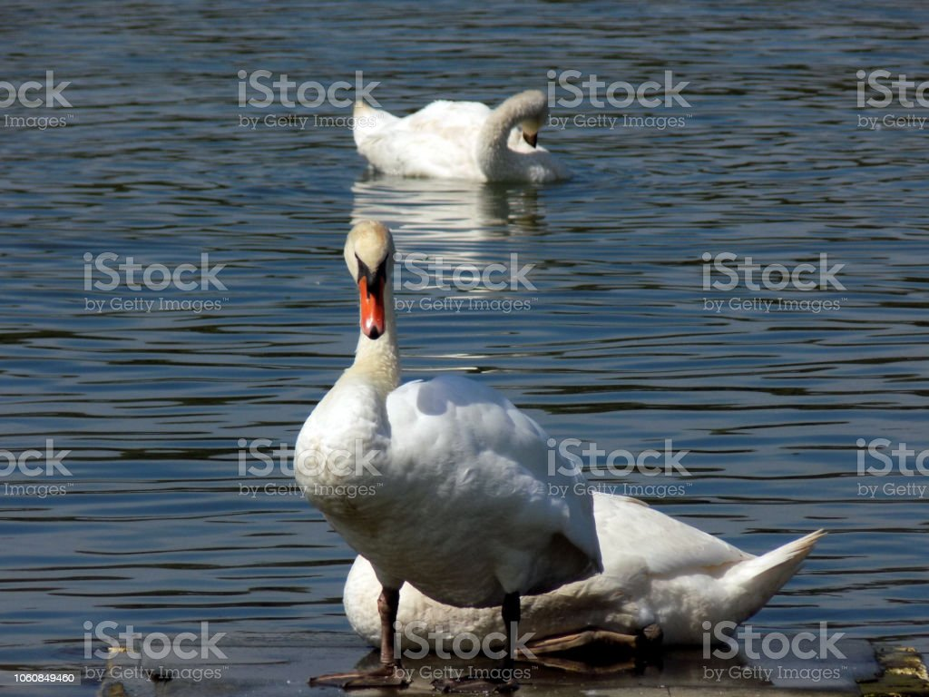 Swan stand on a floating platform in the middle of the river, while...