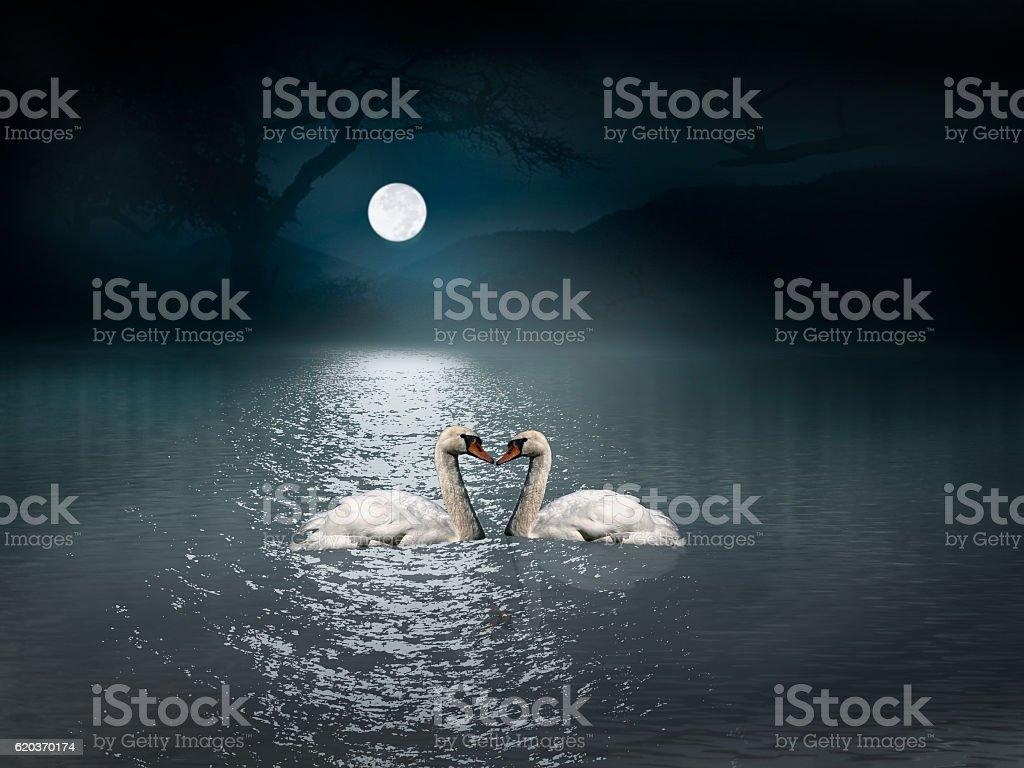 Swans swim in the light of the moon zbiór zdjęć royalty-free
