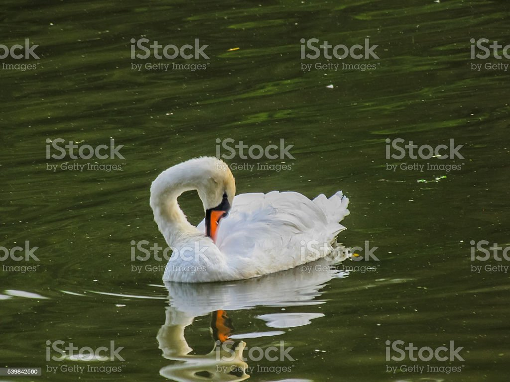 Лебеди Поплавайте в пруд стоковое фото