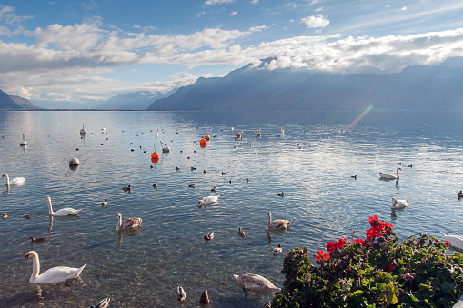 Swans swimming in Lake Geneva, town of Vevey