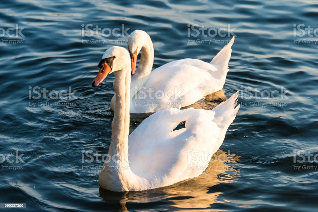 Schwäne Schwimmen auf dem See Lizenzfreies stock-foto