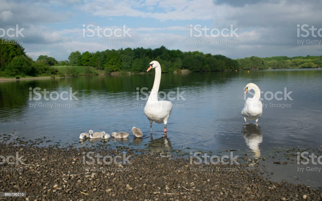 Swans With Their Baby Cygnets foto de stock royalty-free
