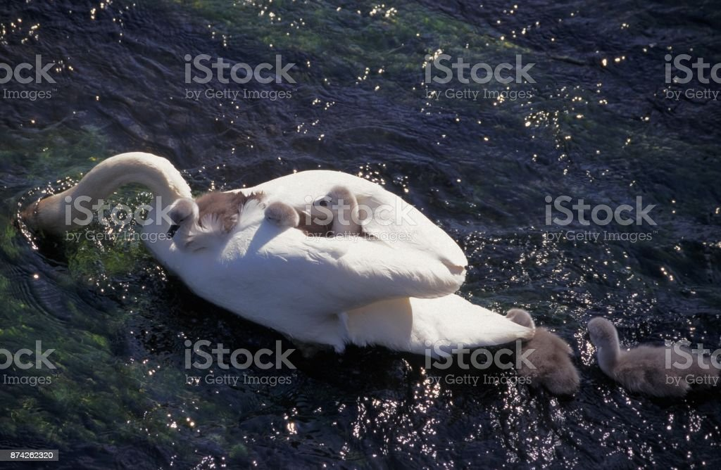 Swans with young on river stock photo