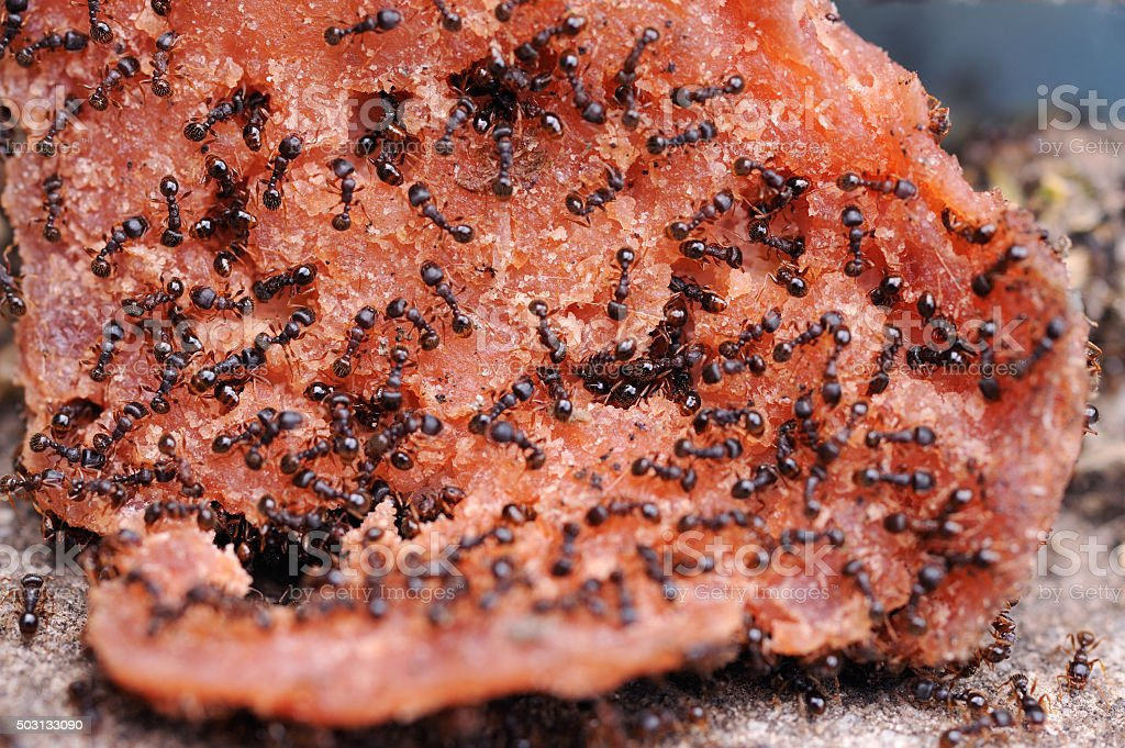 Swarm of ants feedomg stock photo