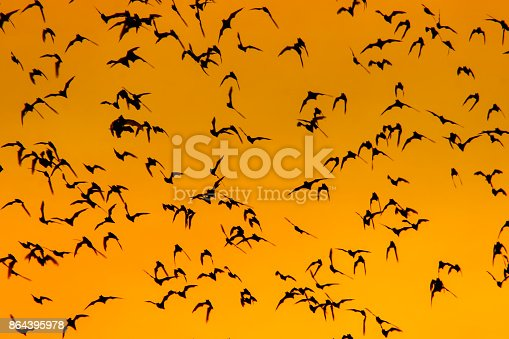 A swarm of bats at sunset in thailand. Bright orange colors.
