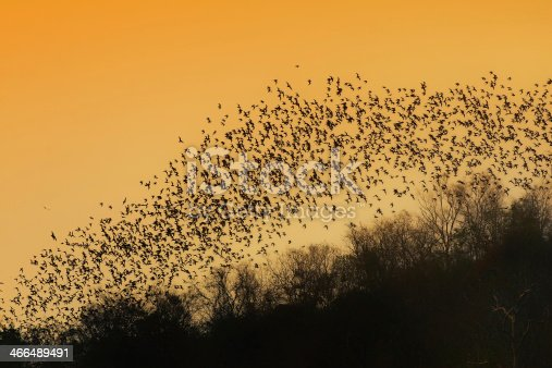 A lot of bats flaying in the evening sky to search for food.Picture is toned.