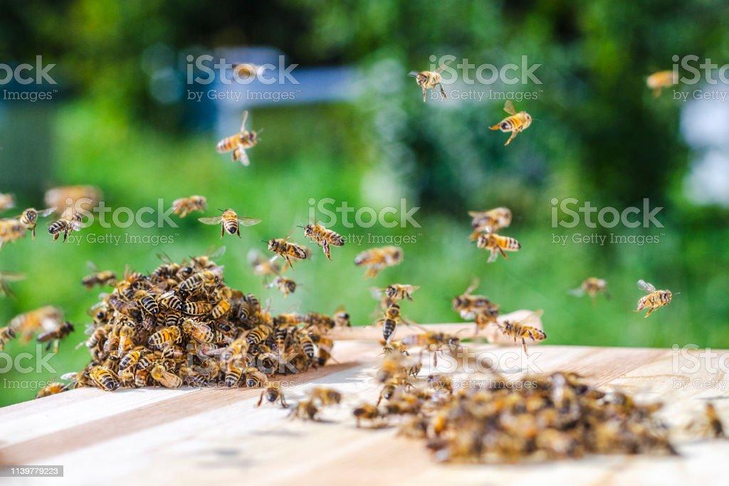 Bienenschwarm um einen Dipper, der in der Imkerei in Honig getränkt ist – Foto