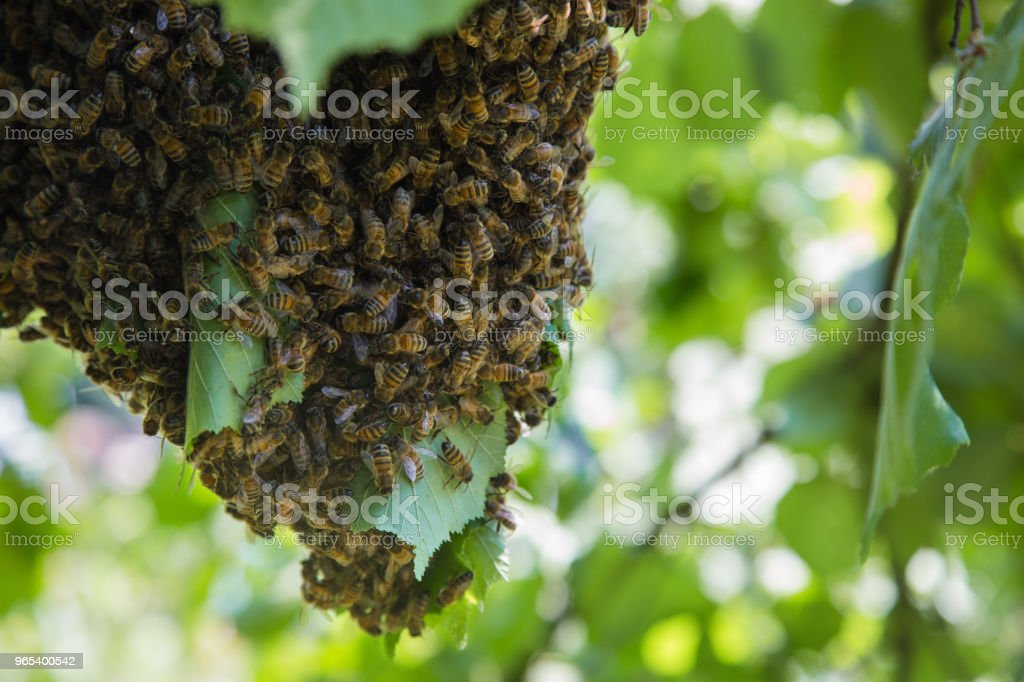 Swarm of bees - honeybees in large number on tree branch royalty-free stock photo