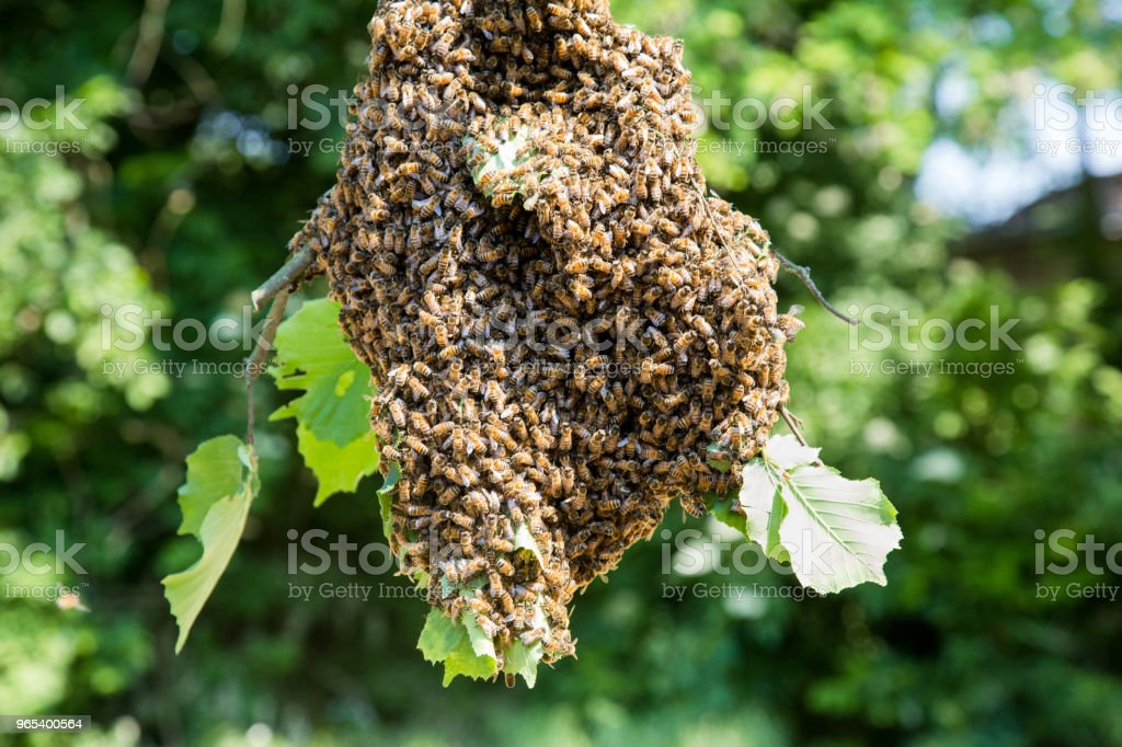 Swarm of bees - honeybees in large number on tree branch zbiór zdjęć royalty-free