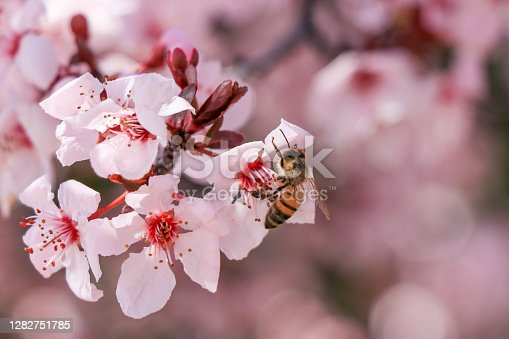 istock Swarm of bees in a flowering tree in the first days of spring. 1282751785