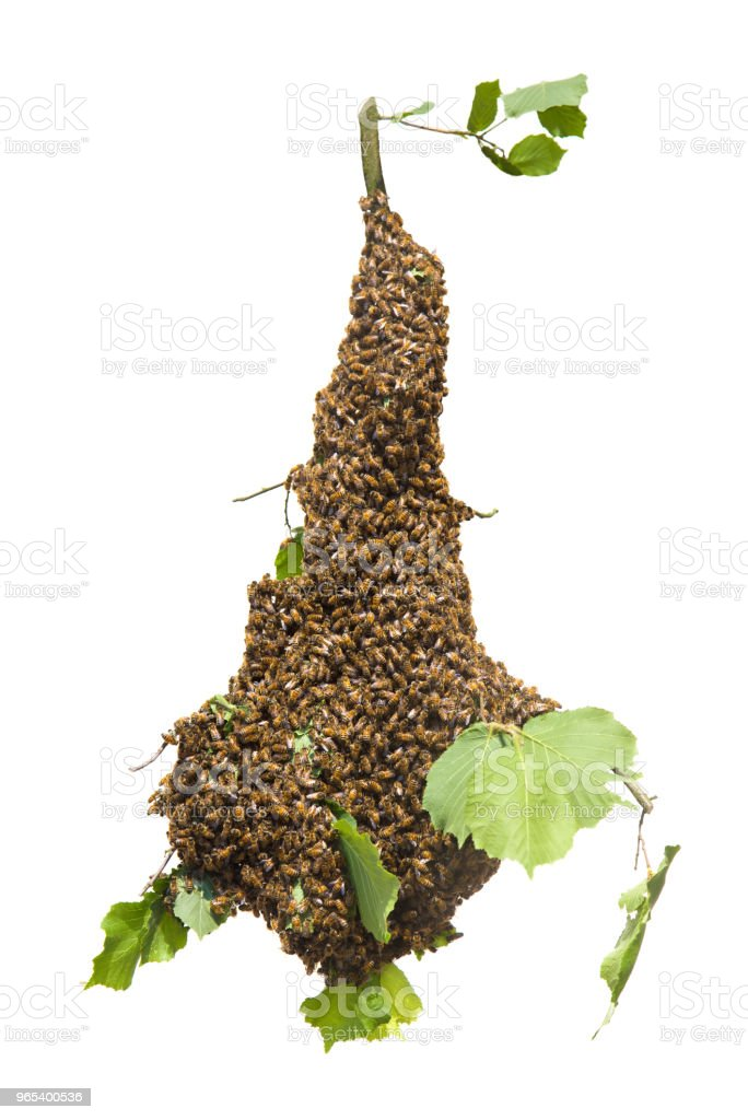 Swarm of bees isolated - honeybees in large number on tree branch on white background zbiór zdjęć royalty-free