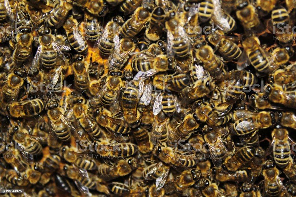 Bienenschwarm – Foto