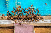 Swarm of bees sits at the entrance to the hive. Apiary theme