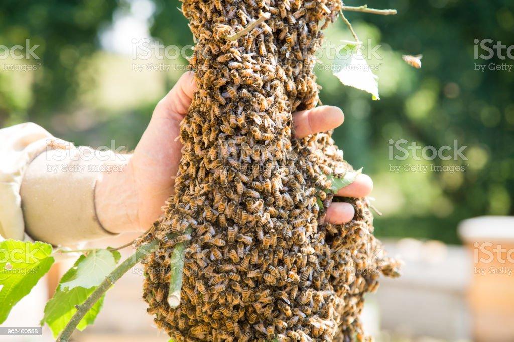 Enxame de abelhas com mão do apicultor - abelhas em grande número no ramo de árvore - Foto de stock de Abelha royalty-free