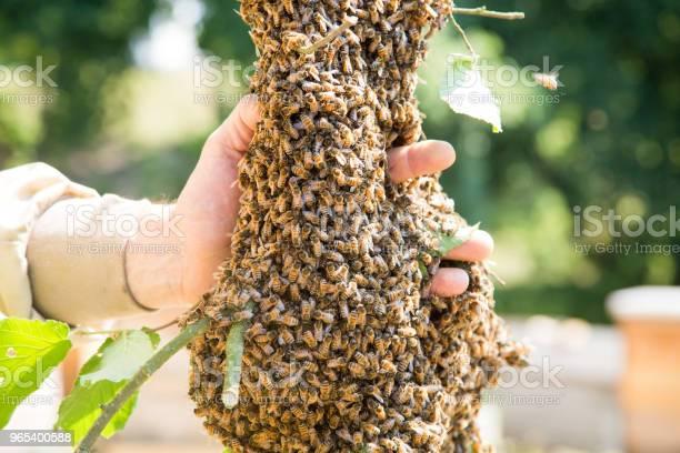 Foto de Enxame De Abelhas Com Mão Do Apicultor Abelhas Em Grande Número No Ramo De Árvore e mais fotos de stock de Abelha