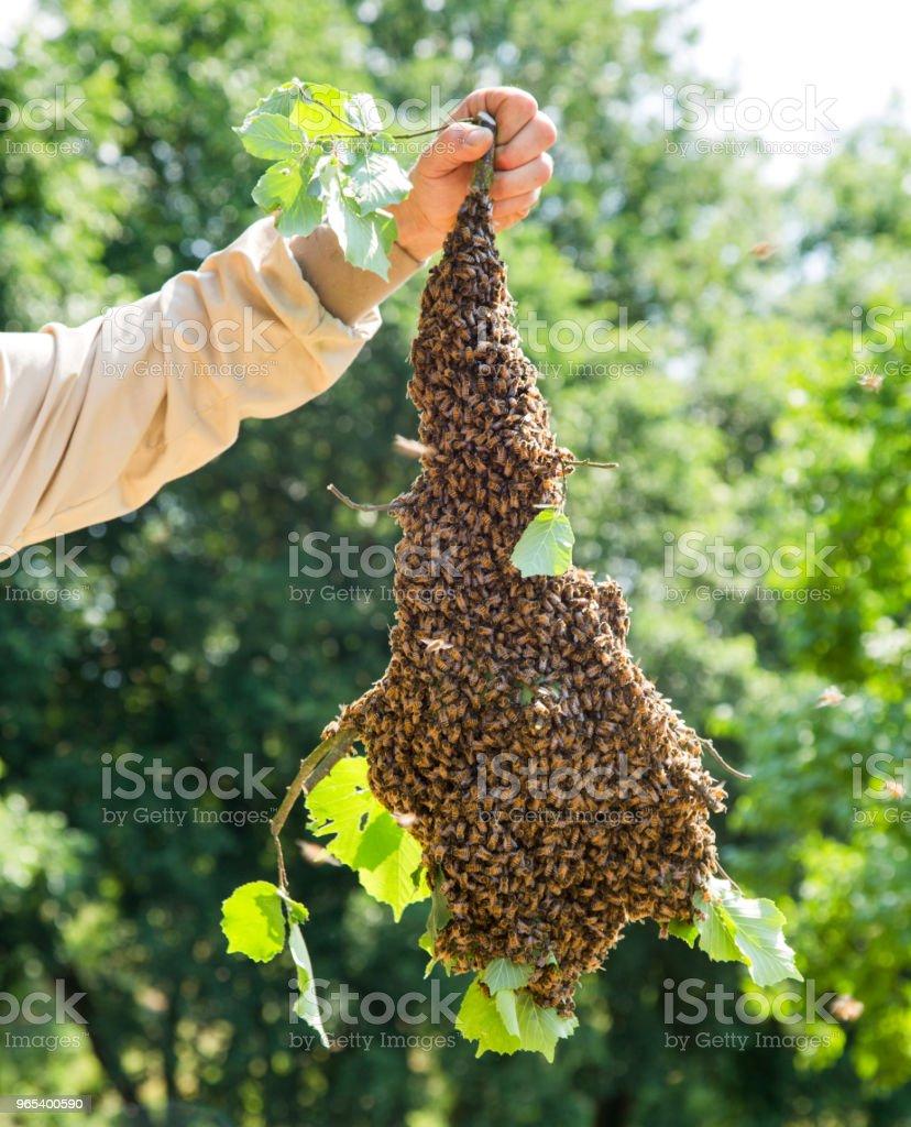 양 봉가 손으로-꿀벌 나무 가지에 많은 수에서 꿀벌의 떼 - 로열티 프리 0명 스톡 사진