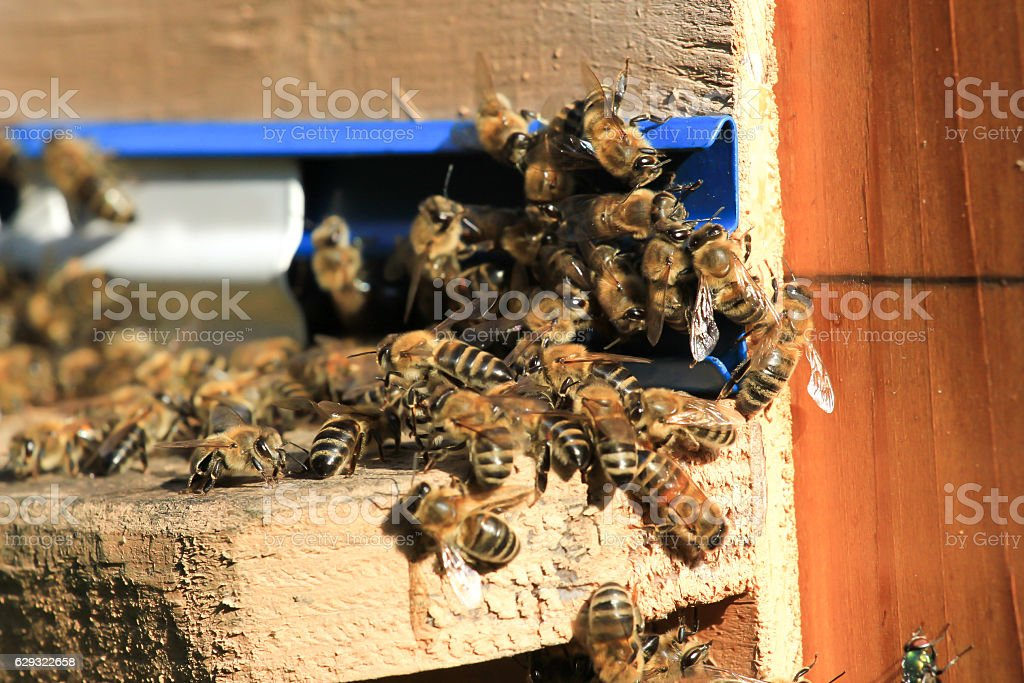 Swarm of bees working in the hive. Wild nature group stock photo