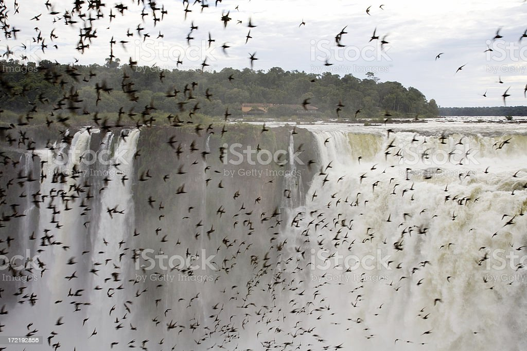 Swarm of dusky swifts at iguacu falls royalty-free stock photo